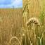 Zoomimine üksikule viljapeale rõhutab üksiku taime ilu.